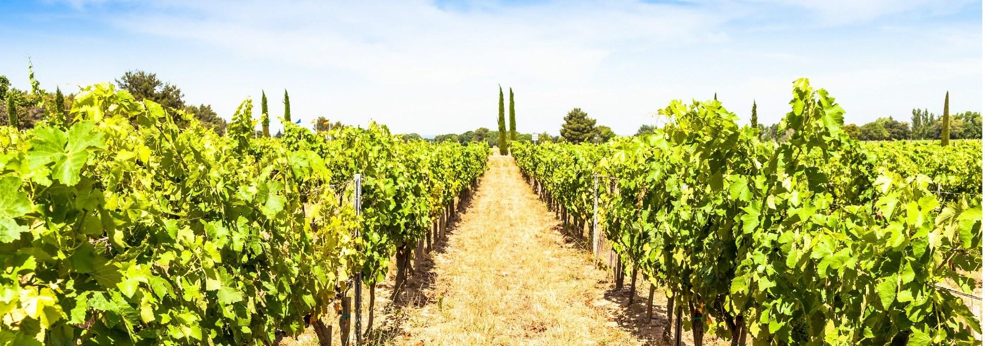 vignoble-provence-1-jpg